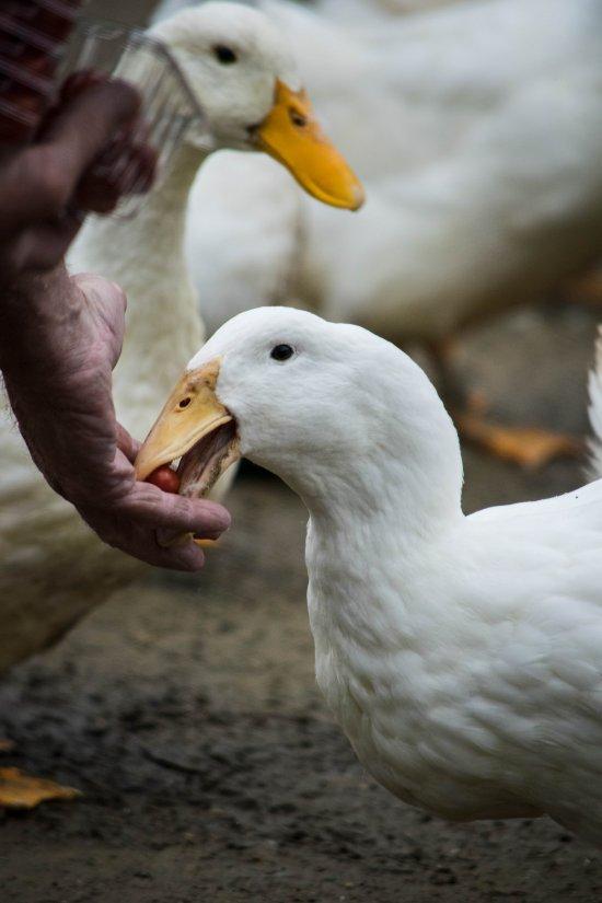 michigan_duck_sanctuary-20
