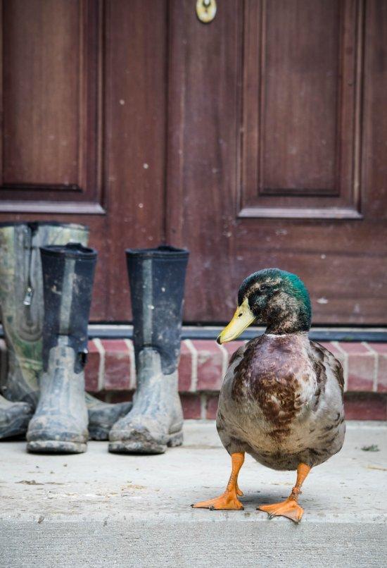michigan_duck_sanctuary-36