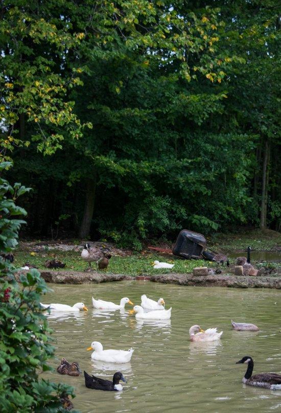 michigan_duck_sanctuary-71