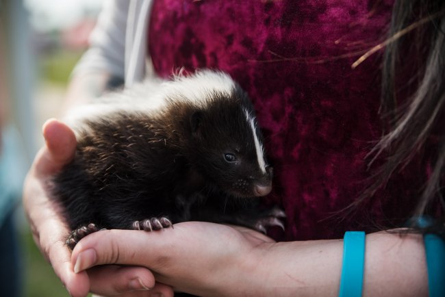 baby_skunk_pet_photographer_cedar_falls_ia (1)